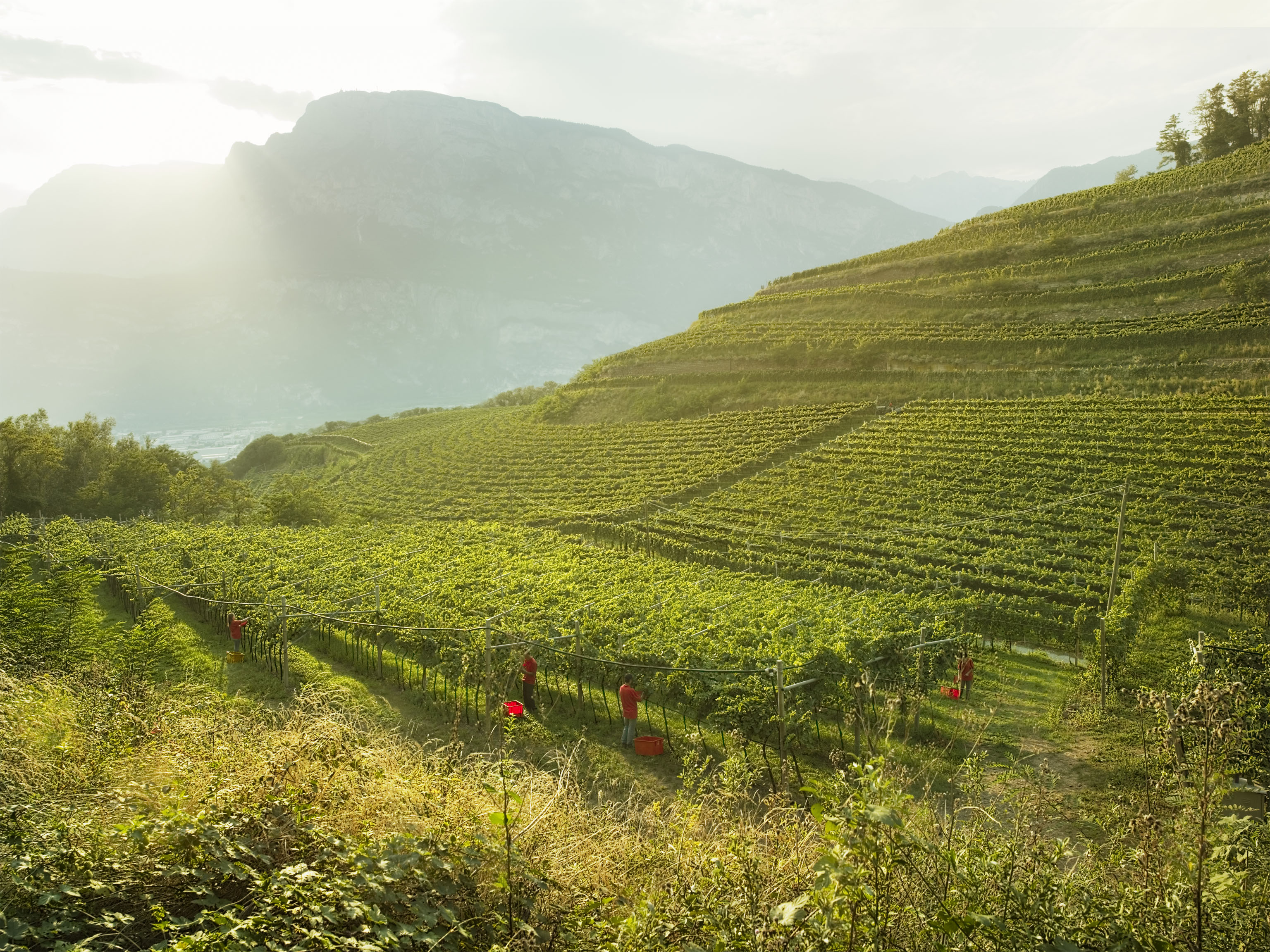Ferrari vineyards in Trento.